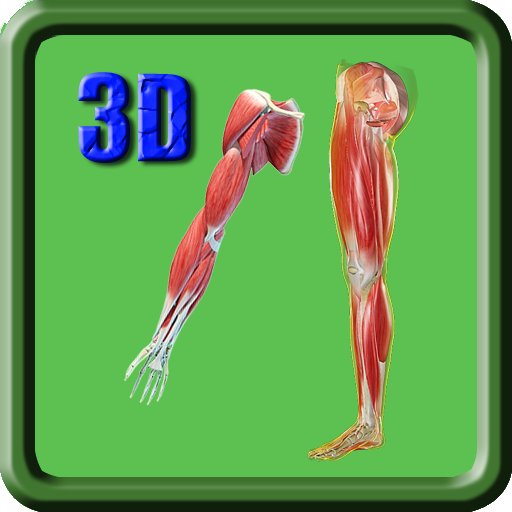 3D Human Leg &amp; Upper Limb Muscle