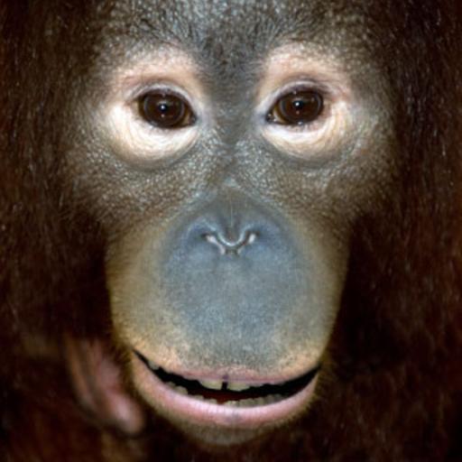 Orangután que habla