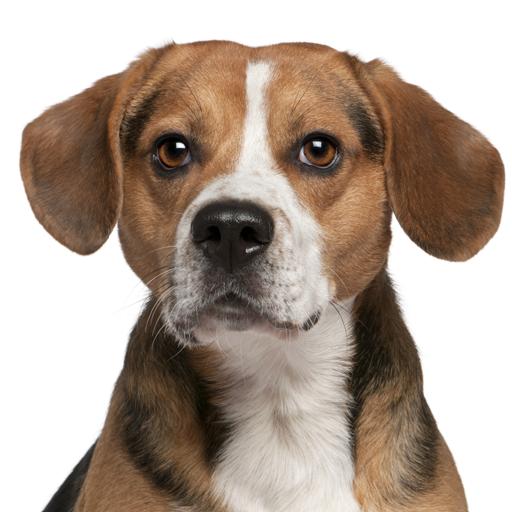 Beagle Match