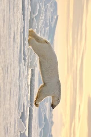 Polar Bear Leaping Slide Puzzle screenshot #1
