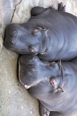 Lazy Hippos Slide Puzzle screenshot #1