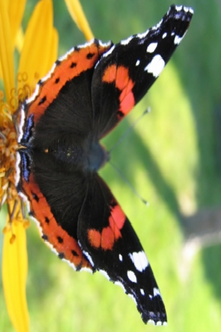Red Admiral Butterfly Slide Puzzle screenshot #1
