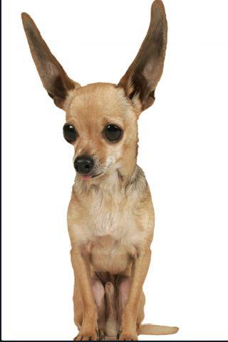 SlidePuzzle - Chihuahua screenshot #3