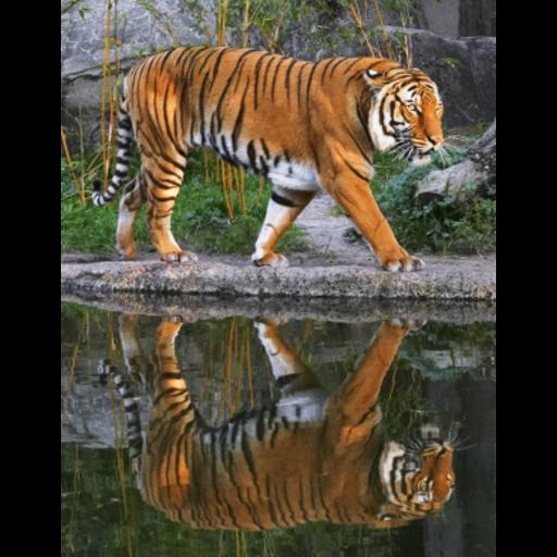 Siberian Tiger Slide Puzzle