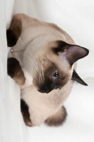 Siamese Cat Slide Puzzle screenshot #1