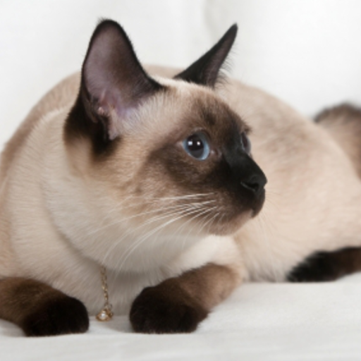 Siamese Cat Slide Puzzle